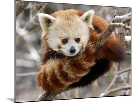 National Zoological Park: Red Panda--Mounted Photographic Print