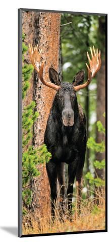 Skinny Chocolate Moose-Gary Crandall-Mounted Photographic Print