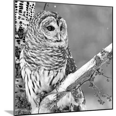 White Owl--Mounted Photographic Print