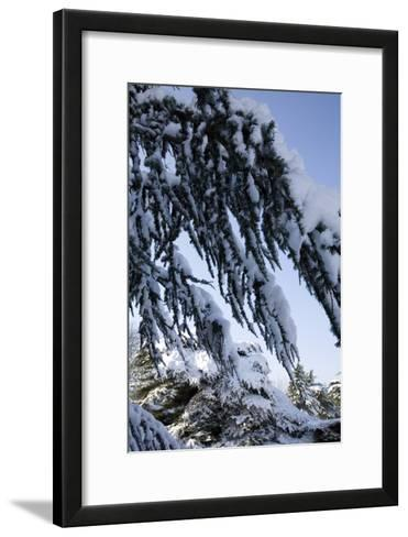 Evergreen Trees Covered in Snow-Benedict Luxmoore-Framed Art Print