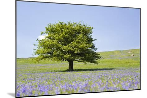 Lone Tree and Mauve Spring Wildflowers at Holwell Lawn, Dartmoor, Devon England-David Clapp-Mounted Photographic Print