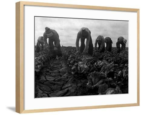 Filipinos Cutting Lettuce, Salinas, California, 1935-Dorothea Lange-Framed Art Print