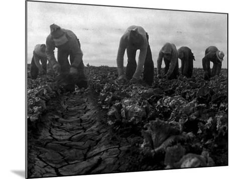 Filipinos Cutting Lettuce, Salinas, California, 1935-Dorothea Lange-Mounted Photo