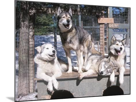 Cute Huskies in Dog Kennel--Mounted Photographic Print