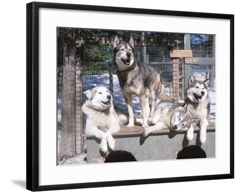 Cute Huskies in Dog Kennel--Framed Art Print