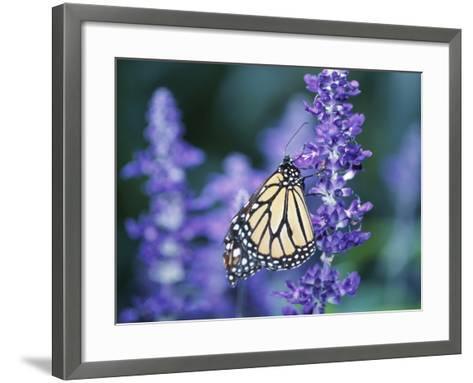 Beautiful Butterfly on Blooming Purple Flower--Framed Art Print