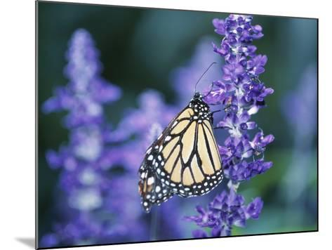 Beautiful Butterfly on Blooming Purple Flower--Mounted Photographic Print