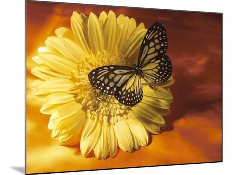 Black and Yellow Butterfly on Yellow Flower--Mounted Photographic Print