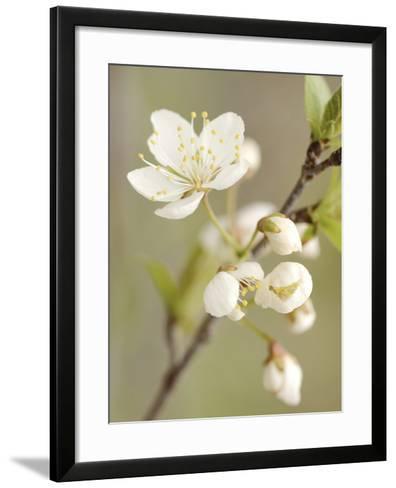 White Apple Blossom--Framed Art Print