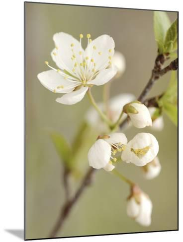 White Apple Blossom--Mounted Photographic Print