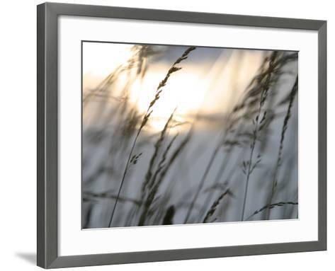 Bright Sunlight Shining on Water Behind a Silhouete of Tall Prarie Grass--Framed Art Print