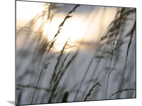Bright Sunlight Shining on Water Behind a Silhouete of Tall Prarie Grass--Mounted Photographic Print