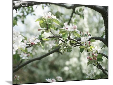 Blooming White Fruit Blossoms on Tree Bough--Mounted Photographic Print