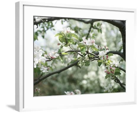 Blooming White Fruit Blossoms on Tree Bough--Framed Art Print