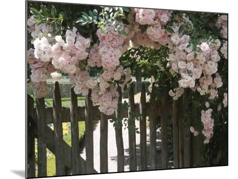 Beautiful Pink Roses Growing on Wooden Fence--Mounted Photographic Print