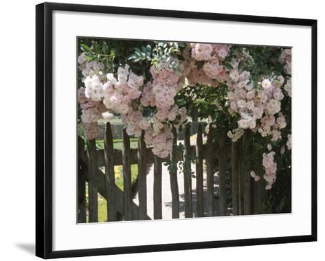 Beautiful Pink Roses Growing on Wooden Fence--Framed Art Print