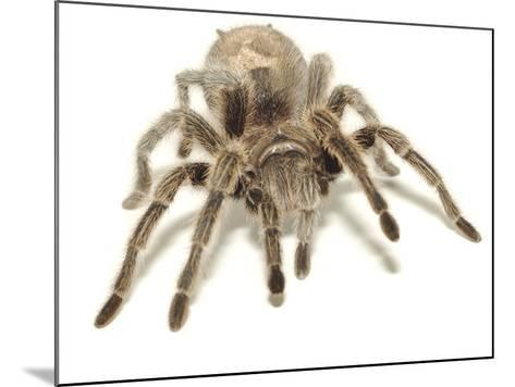 Brown Tarantula--Mounted Photographic Print