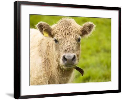 Shaggy Cow with Yellow Ear Tag Standing in Green Pasture--Framed Art Print