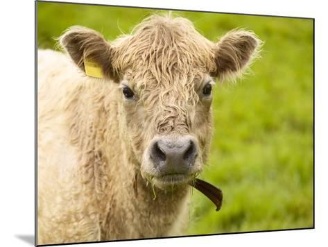 Shaggy Cow with Yellow Ear Tag Standing in Green Pasture--Mounted Photographic Print