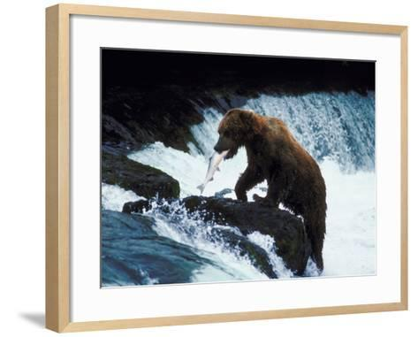 Grizzly Bear Catching Fish from Rushing Stream--Framed Art Print