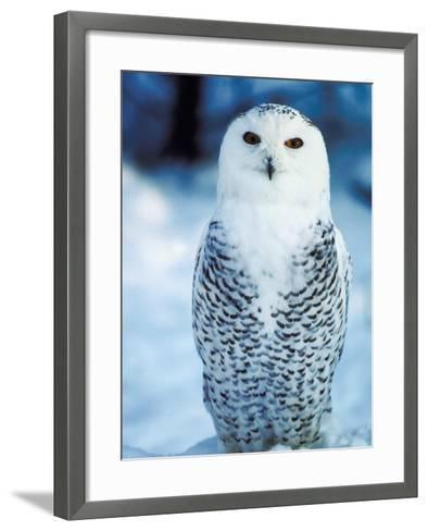 Snowy Owl Standing in Snow--Framed Art Print