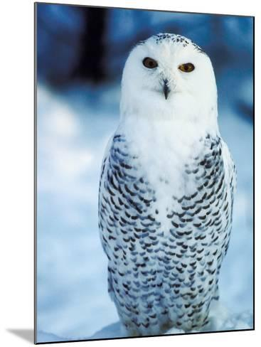 Snowy Owl Standing in Snow--Mounted Photographic Print