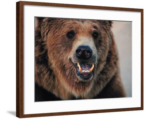 Close Up of Brown Bear Showing Teeth--Framed Art Print