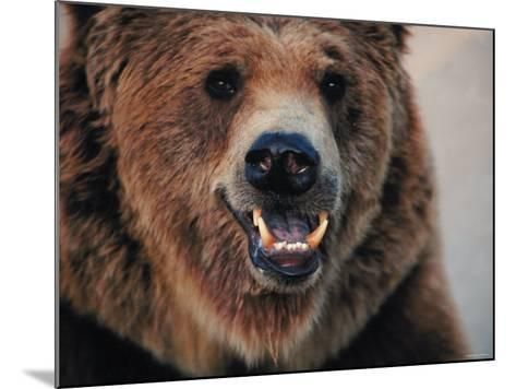 Close Up of Brown Bear Showing Teeth--Mounted Photographic Print