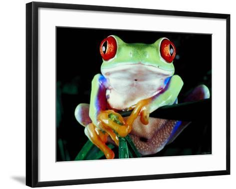 Frog with Red Eyes Perched on Tree Stick--Framed Art Print