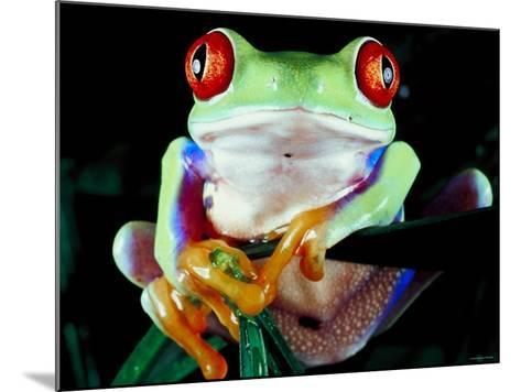 Frog with Red Eyes Perched on Tree Stick--Mounted Photographic Print