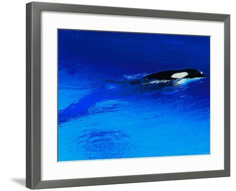 Killer Whale Coming Out of the Surface of the Ocean--Framed Art Print