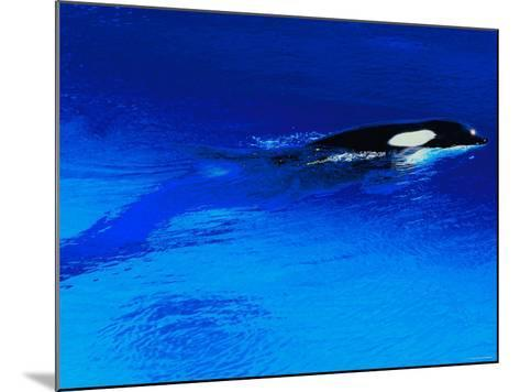 Killer Whale Coming Out of the Surface of the Ocean--Mounted Photographic Print
