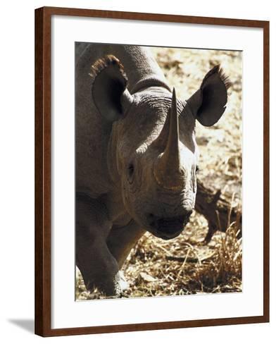 Hippopotamus Grazing in Field--Framed Art Print