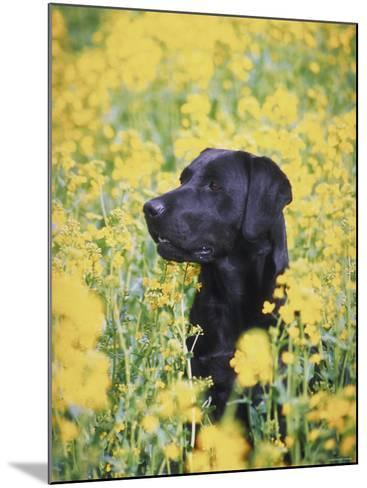 Labrador Retriever in Field of Yellow Flowers--Mounted Photographic Print