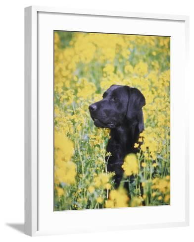 Labrador Retriever in Field of Yellow Flowers--Framed Art Print