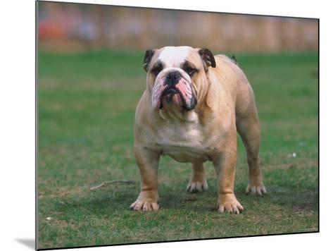 Bulldog Standing in Grassy Field--Mounted Photographic Print