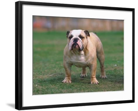 Bulldog Standing in Grassy Field--Framed Art Print