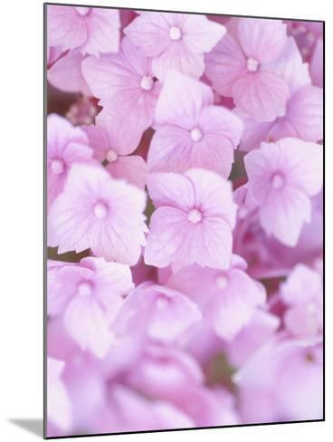 Close-up of Blooming Pink Blossoms--Mounted Photographic Print