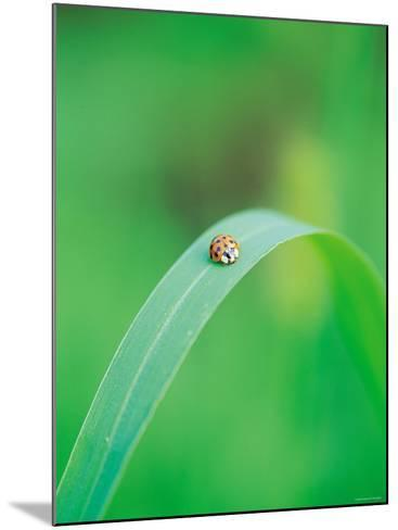 Ladybug Sitting in the Middle of a Leaf--Mounted Photographic Print