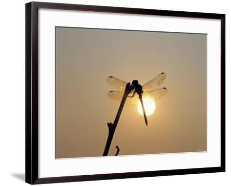Silhouette of Dragonfly Perched on Edge of Stick at Sunset--Framed Art Print