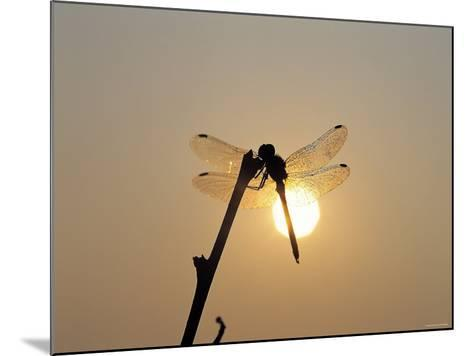 Silhouette of Dragonfly Perched on Edge of Stick at Sunset--Mounted Photographic Print