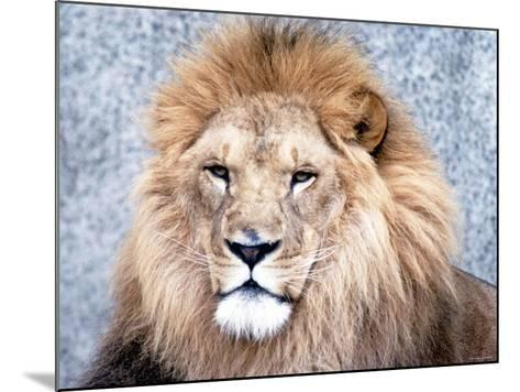 Close Up of African Lion in the Wild--Mounted Photographic Print