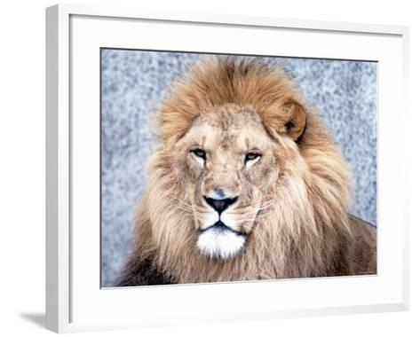 Close Up of African Lion in the Wild--Framed Art Print