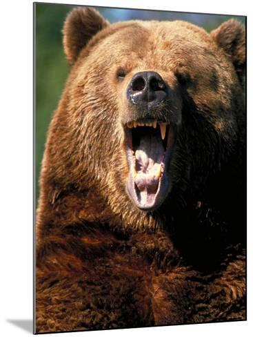Angry Brown Bear Growling and Showing Teeth--Mounted Photographic Print