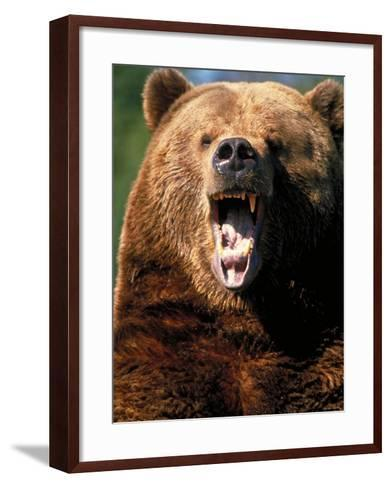 Angry Brown Bear Growling and Showing Teeth--Framed Art Print