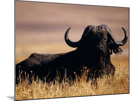 Large Water Buffalo Lying Down in Tall Dry Grass--Mounted Photographic Print