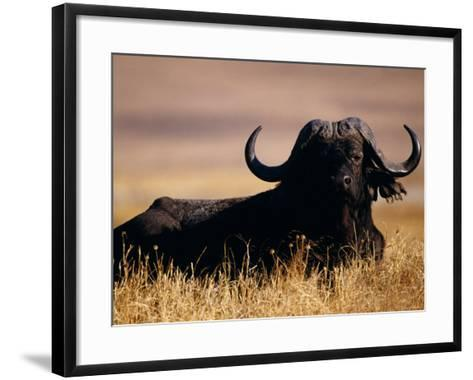Large Water Buffalo Lying Down in Tall Dry Grass--Framed Art Print