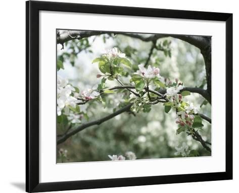 Beautiful Blooming White Fruit Blossoms on Bough on Tree--Framed Art Print