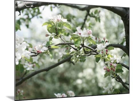 Beautiful Blooming White Fruit Blossoms on Bough on Tree--Mounted Photographic Print