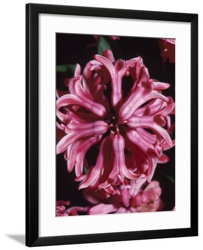 Beautiful Blooming Pink Flowers with Bell Petals--Framed Art Print